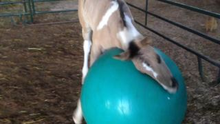 Baby Horse Does Yoga - Video