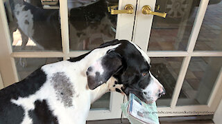 Happy Great Dane Has Fun Delivering The Newspaper