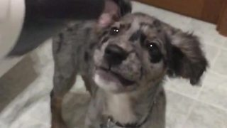 Slow motion captures puppy's obsession with hairdryer - Video