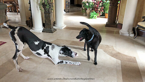 Great Dane Puppy Tries to Make Himself Smaller
