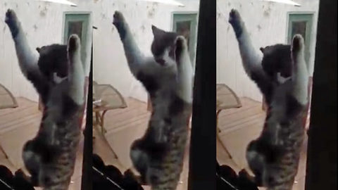 Hilarious moment cat found clinging on to mosquito screen when door opened