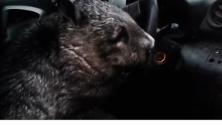 Impatient Wombat Toots Car Horn While Waiting For Carers to Save Her From Possible Flooding - Video