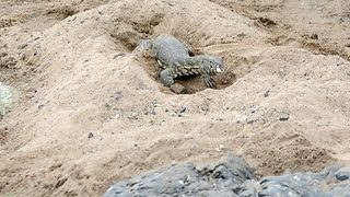 Lizard egg hunt – Monitor lizards scrounge for croc eggs - Video