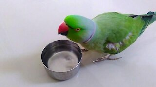 parrot drinking water glass