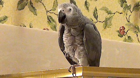 Einstein the Parrot longs to visit an old friend