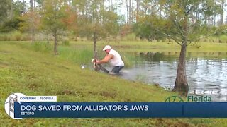 Dog saved from alligator's jaws