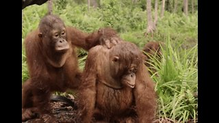 Orangutan Orphans Bond With Each Other in Jungle School