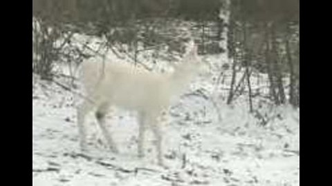 White Christmas! At Least, It Will Be for Albino Deer Spotted in Ohio