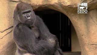 Mshindi in Gorilla World - Video