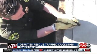 California deputies help rescue ducklings from storm drain