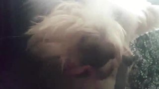 Dog Makes A Funny Growling Noise - Video