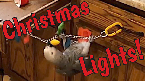 Acrobatic parrot decorates for the holidays