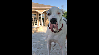 Funny Great Dane Itch Scratching Foot Dance  - Video