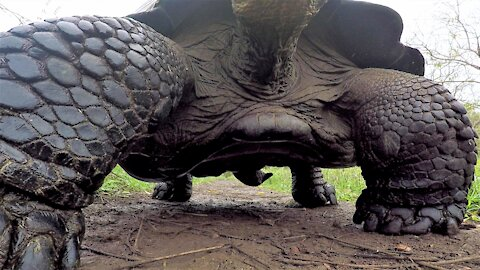 Giant Galapagos tortoise knocks over GoPro and films his belly as he passes by