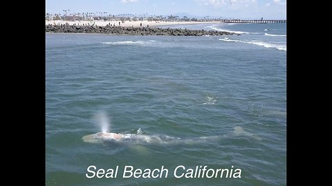 Drone Captures Gray Whales Leisurely Swimming Close To Shore