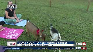 Goat yoga to help reduce stress - Video