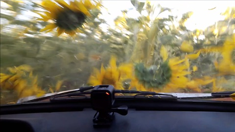 sunflowers field ride by old USSR car