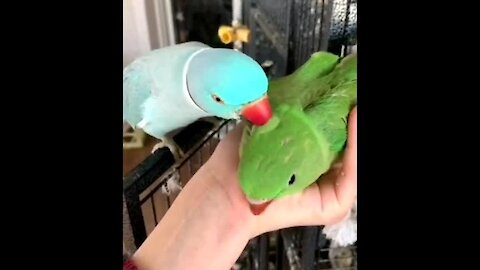 Sweet parrot father & son moment caught on camera