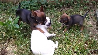 family dog playing with puppies  - Video