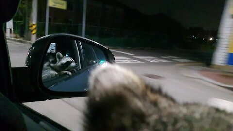 Coolest raccoon ever goes for a night drive
