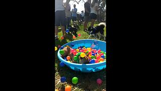 French Bulldog jumps into ball pit in epic slow motion - Video
