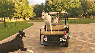 Funny Max the Great Dane Loves Going For a Golf Cart Ride  - Video