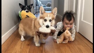 Two corgis and a baby play with stuffed animals in their mouths
