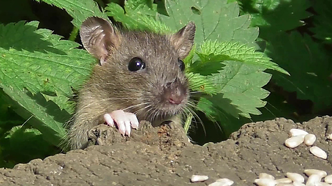 Sneaky Rodents Have Game Of Hide And Seek