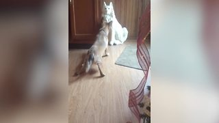 Funny Dog Wants To Play With A Ceramic Pup