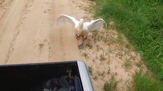 Angry swan chases vehicle in Russia - Video