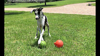 Funny Great Dane Loves To Play Football With A Watermelon
