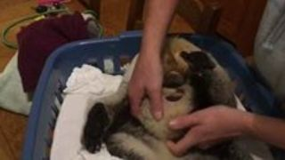 Baby Koala Removed From Dead Mother's Pouch During Rescue - Video