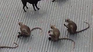 Friendly Stray Dog Tries To Play With Monkey Tribe - Video