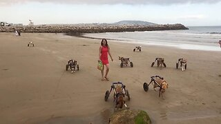 Heartwarming moment disabled dogs experience running on beach for first time