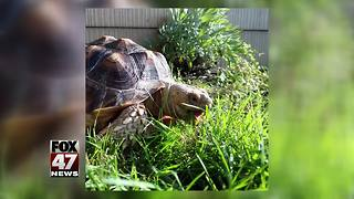 Slow tortoise makes fast getaway in Mid-Michigan, search underway
