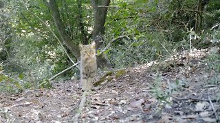 Extremely rare wild cat caught on video as animals parade in front of camera - Video