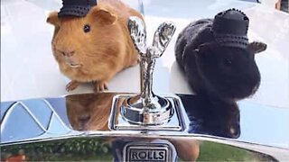 Guinea pigs riding their luxury RC cars