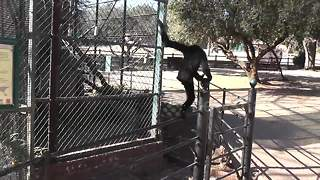 Gibbon escapes from enclosure at South African zoo - Video