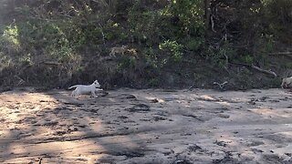 Rare Footage Captured White Lion Cub Walking Through Kruger National Park, One Of Only 15 Left In Wild