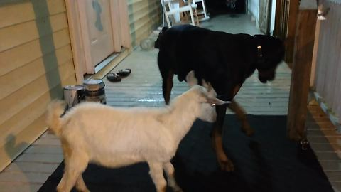 Jealous Doberman wrestles newly rescued goat