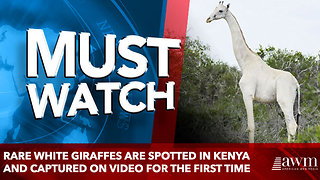 Rare WHITE giraffes are spotted in Kenya and captured on video for the first time