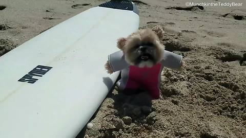 Munchkin the Teddy Bear goes surfing