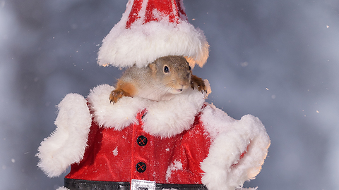 Squirrel in Santa cloths