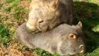 Mother and Baby Wombats Have a Special Bond - Video