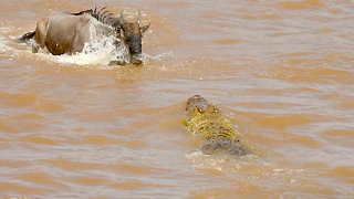 Hungry Crocodiles Attack Migrating Wildebeest: SNAPPED IN THE WILD - Video