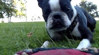 Boston Terrier Shows Off Some Crazy Jumping Skills - Video