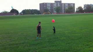 Boston Terrier Does Amazing Summersault While Playing With A Balloon