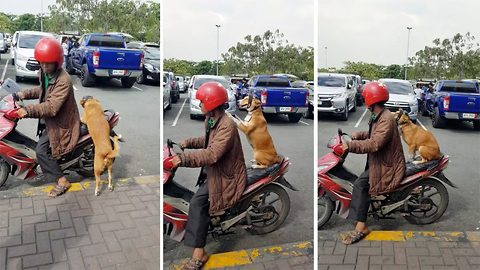 Ruff rider: Adorable paw-abiding pooch rides on the back of her owner's moped, wearing a helmet, and even holds on for good measure