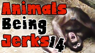 Animals Being Jerks #14 - Video