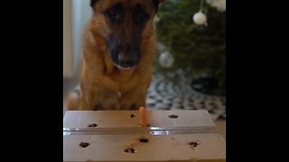 German Shepherd plays whack-a-mole with hot dog prize